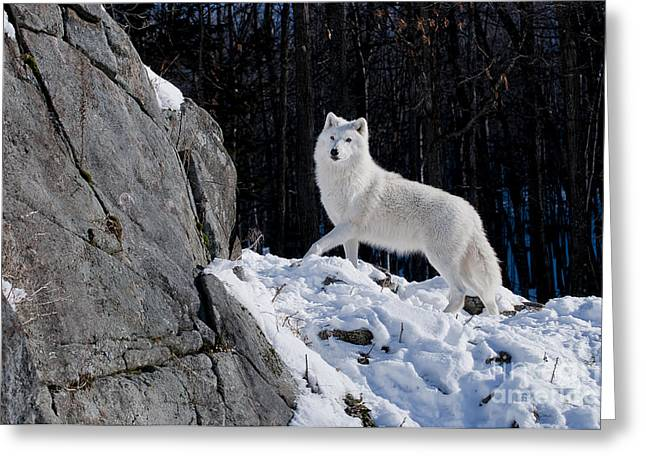 Greeting Card featuring the photograph Arctic Wolf On Rock Cliff by Wolves Only