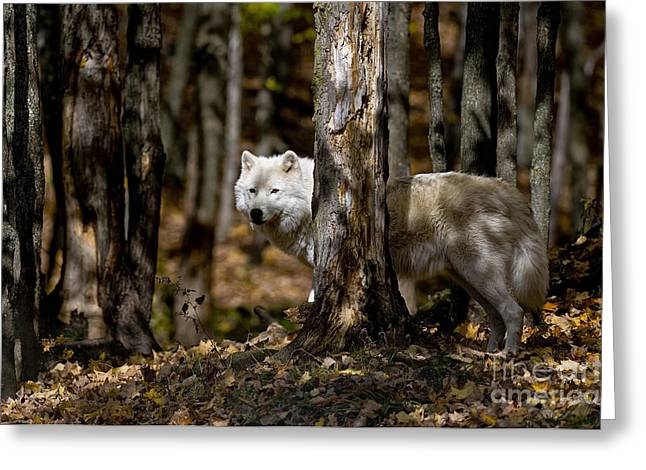 Arctic Wolf Picture 242 Greeting Card by World Wildlife Photography