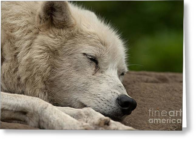 Arctic Wolf Pictures 155 Greeting Card by Wolves Only