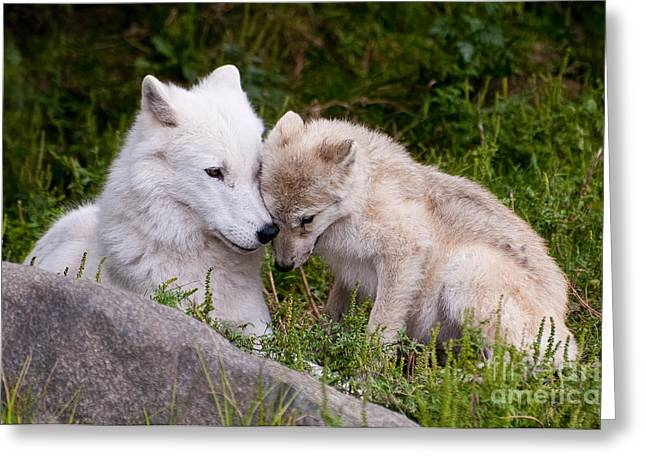 Arctic Wolf Pictures 702 Greeting Card