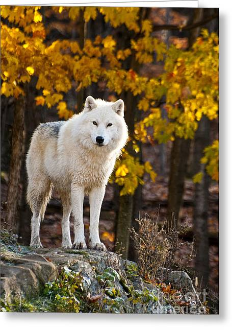 Arctic Wolf Pictures 709 Greeting Card by World Wildlife Photography