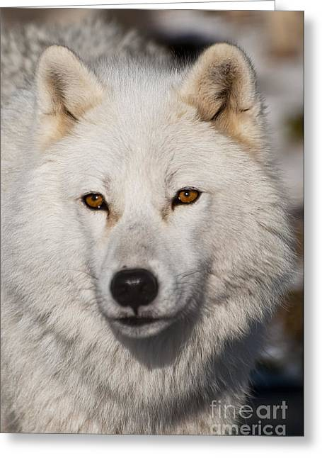 Arctic Wolf Pictures 814 Greeting Card by World Wildlife Photography