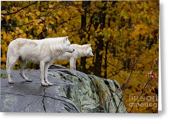 Arctic Wolf Pictures 930 Greeting Card by World Wildlife Photography
