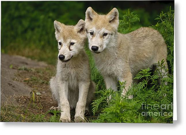 Arctic Wolf Puppies Greeting Card by Wolves Only
