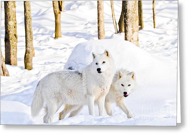 Arctic Wolves Greeting Card by Cheryl Baxter