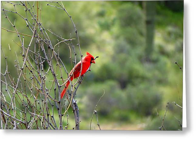 Arizona Red Bird Greeting Card