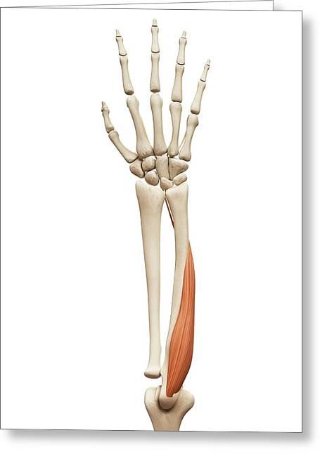 Arm Muscle Greeting Card by Sebastian Kaulitzki