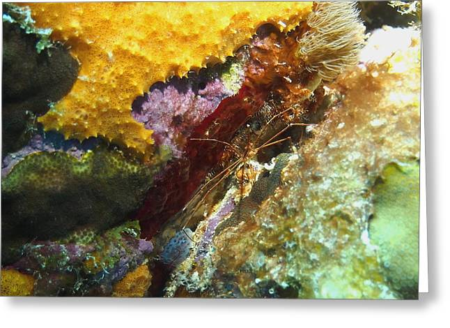 Greeting Card featuring the photograph Arrow Crab In A Rainbow Of Coral by Amy McDaniel