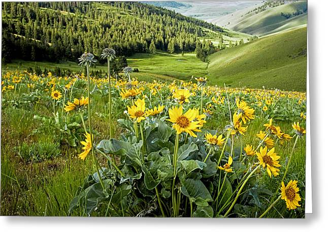 Greeting Card featuring the photograph Arrow Leaf Balsam Root by Jack Bell