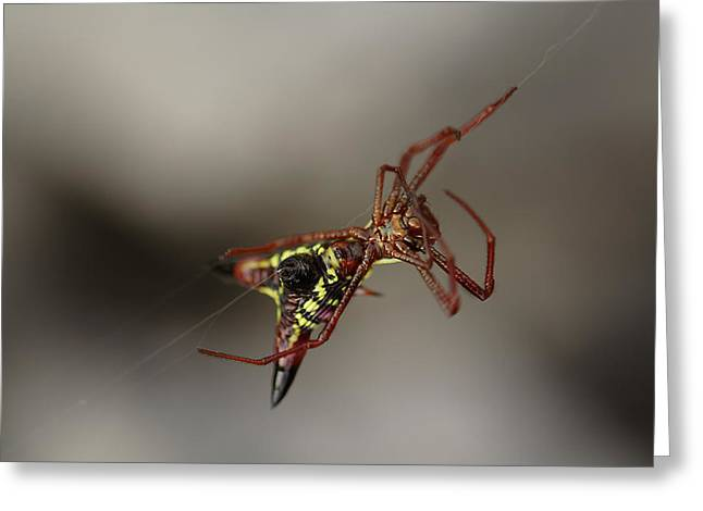 Arrow-shaped Micrathena Spider Starting A Web Greeting Card