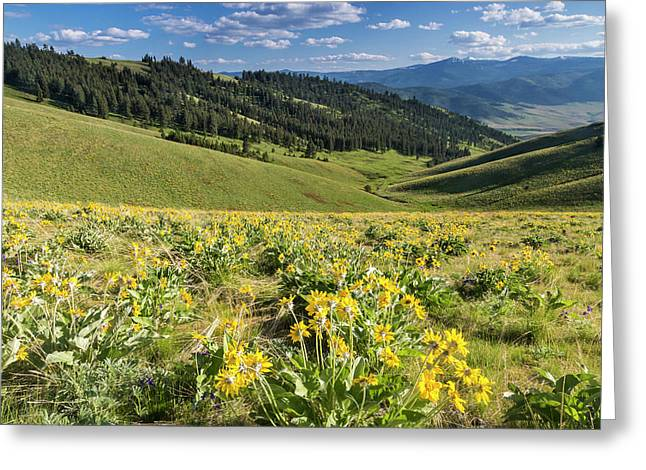 Arrowleaf Balsamroot Wildflowers Greeting Card