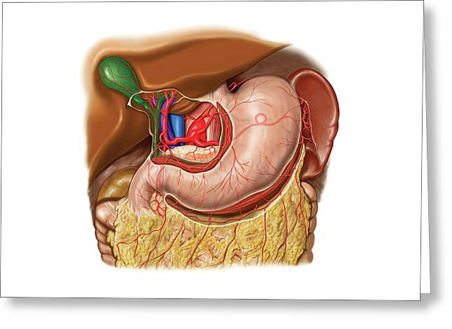Arterial System Of Stomach Greeting Card