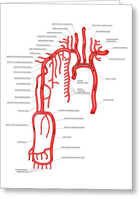 Arterial System Of The Upper Body Greeting Card