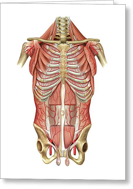 Arterial System Of Thoraco-abdominal Wall Greeting Card