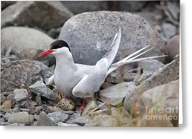 Artic Tern On Nest Greeting Card by Greg Dimijian