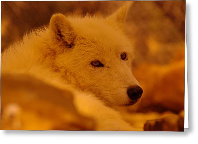 Artic Wolf  Greeting Card by Jeff Swan