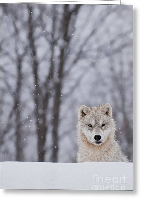 Artic Wolf Pup Greeting Card