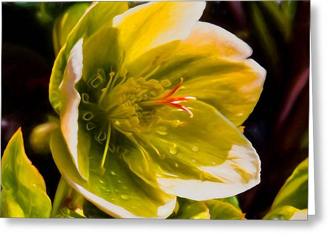 Artistic Christmas Rose Also Called Helleborus Niger Black Hellebore Photographraphed In Sunshine Su Greeting Card