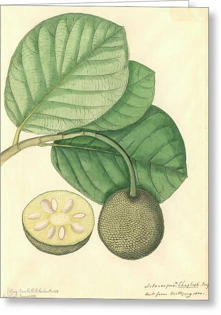 Artocarpus Chaplasha Greeting Card by Natural History Museum, London