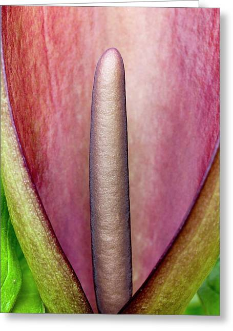 Arum Apulum Inflorescence Greeting Card by Dr Jeremy Burgess