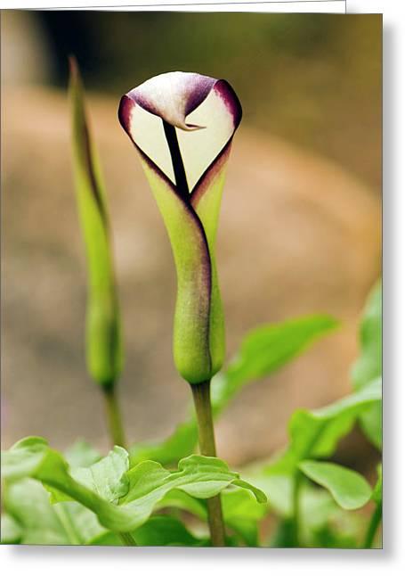 Arum Euxinum Flower Greeting Card by Adrian Thomas