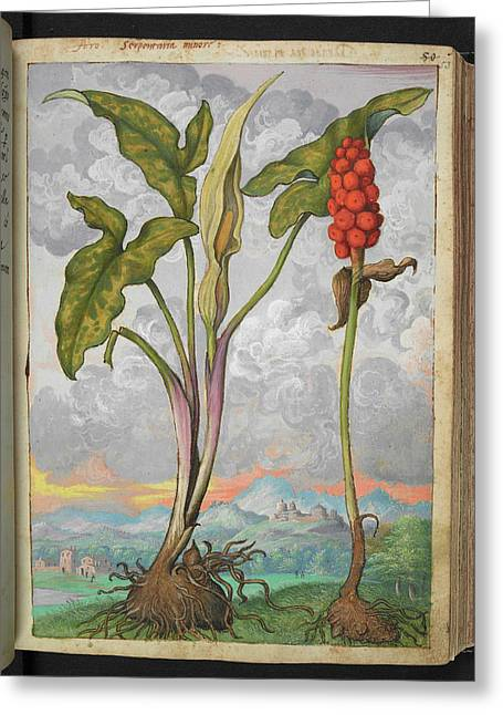 Arum Italicum Greeting Card by British Library