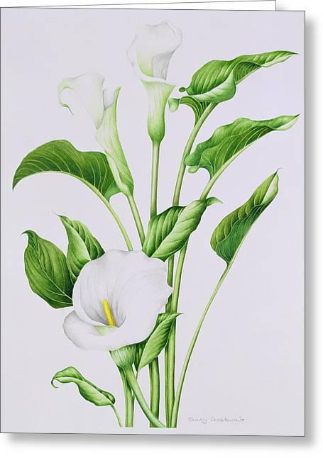 Arum Lily Greeting Card by Sally Crosthwaite