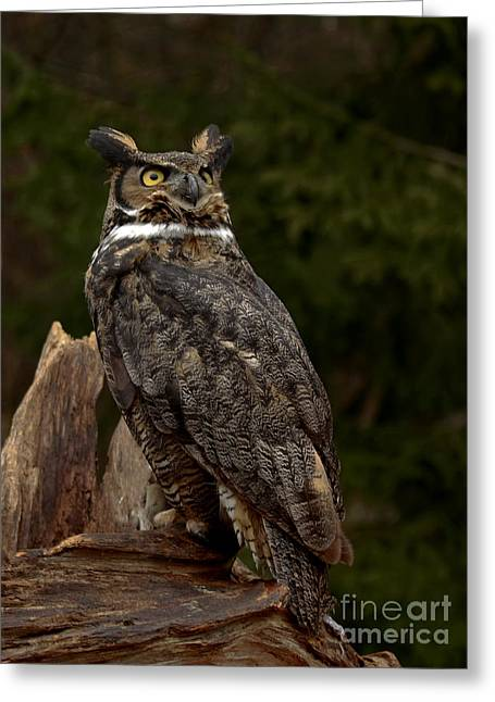 As Nighttime Falls Great Horned Owl Looking To The Sky Greeting Card by Inspired Nature Photography Fine Art Photography