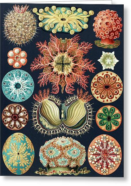 Ascidiae Sea Squirts Greeting Card by Library Of Congress