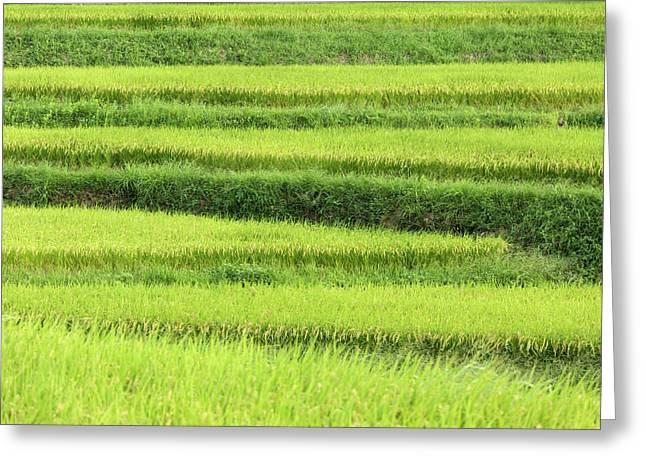 Asia, Japan Rice Terraces In Nara Greeting Card
