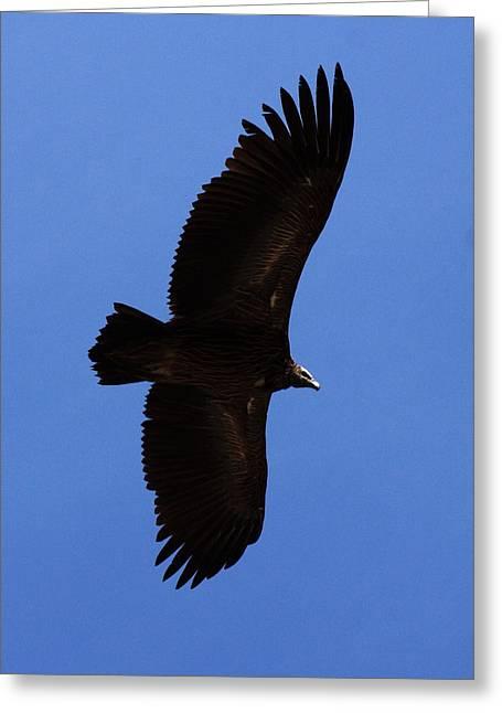 Asian Black Eagle - Nepal Greeting Card by Aidan Moran