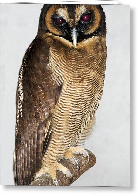 Asian Brown Wood Owl Greeting Card by Nigel Downer