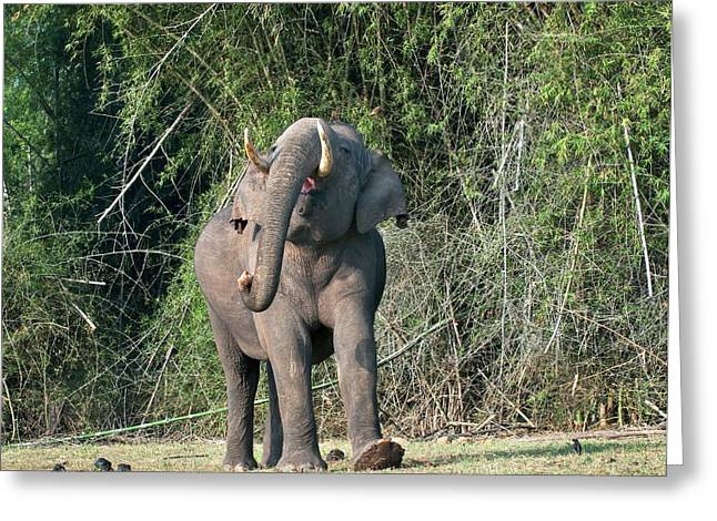 Asian Bull Elephant Displaying Greeting Card