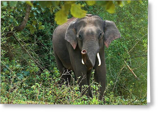 Asian Bull Elephant In Musth Greeting Card