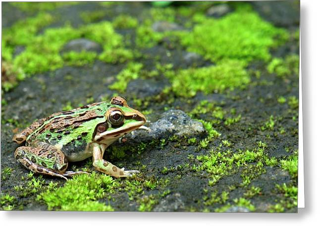 Asian Bullfrog Greeting Card by K Jayaram