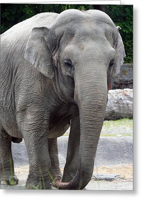 Greeting Card featuring the photograph Asian Elephant by Bob Noble Photography
