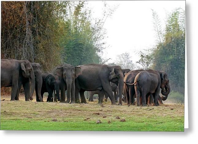 Asian Elephant Herd Greeting Card by K Jayaram