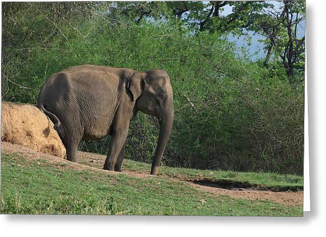 Asian Elephant Scratching Itself Greeting Card