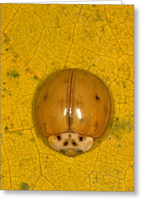 Asian Lady Beetle Greeting Card