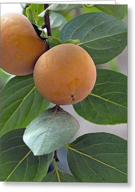 Asian Persimmon Fruit Greeting Card by Science Photo Library