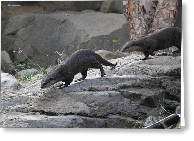 Asian Small Clawed Otter - National Zoo - 01132 Greeting Card by DC Photographer