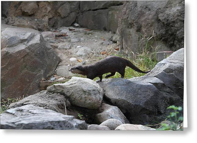 Asian Small Clawed Otter - National Zoo - 01134 Greeting Card by DC Photographer