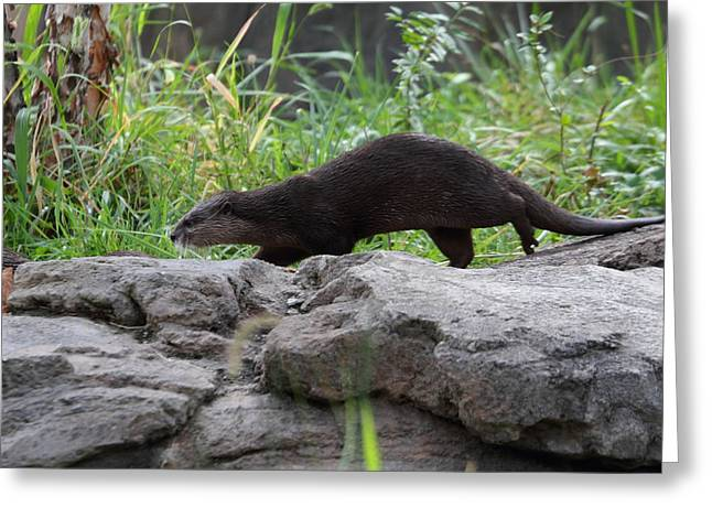 Asian Small Clawed Otter - National Zoo - 01136 Greeting Card by DC Photographer
