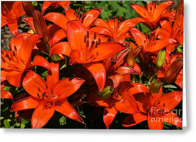 Greeting Card featuring the photograph Asiatic Lily by Sue Smith