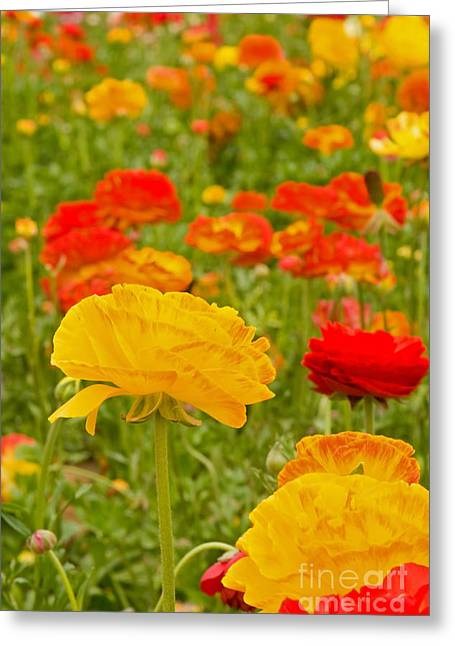 Asiatic Ranunculus Flowers Greeting Card by ELITE IMAGE photography By Chad McDermott