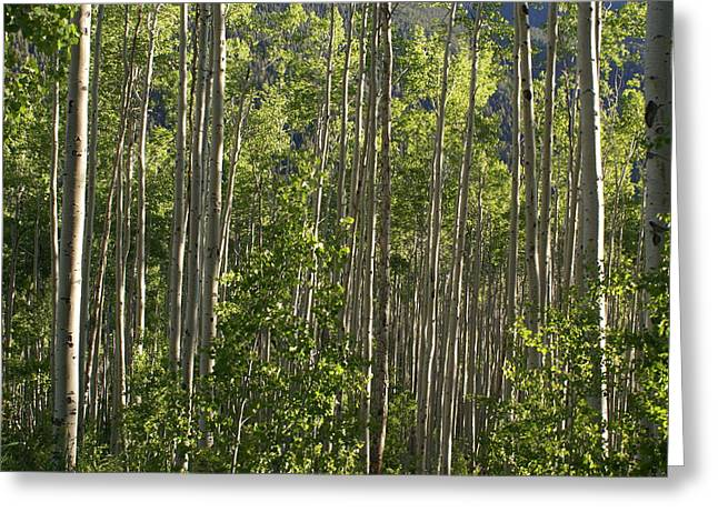 Aspen Along Independence Pass  Greeting Card by Jacqueline Russell