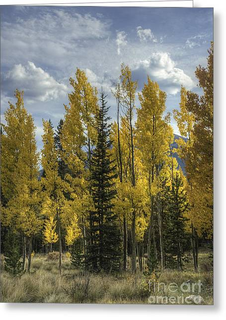 Aspen And Evergreen Greeting Card