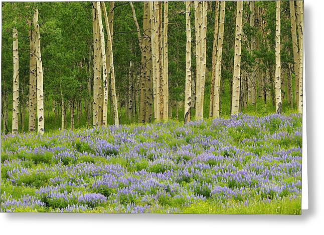 Aspen And Lupine Greeting Card by Joseph Rossbach