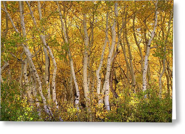 Aspen Glow Greeting Card by Donna Kennedy