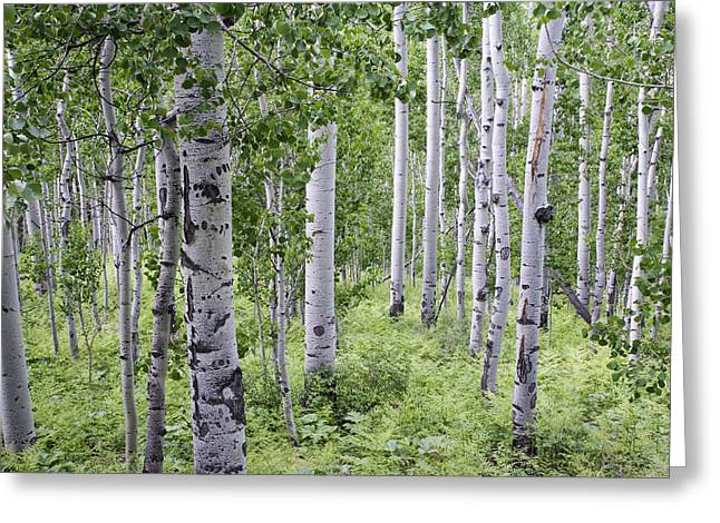Aspen Grove Greeting Card by Melany Sarafis